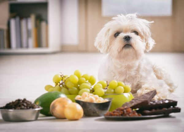 מזונות אסורים לכלבים