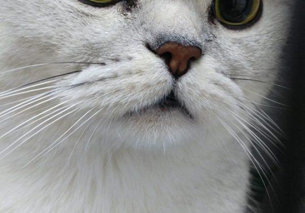 איך חתולה מעוקרת מתייחמת..?