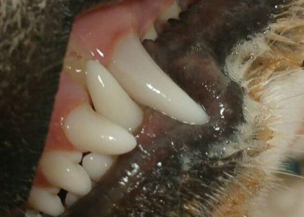 איך קובעים את גיל הכלב לפי השיניים?